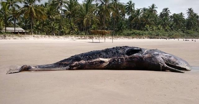 Baleia encontrada hoje (25) na Praia de Mamoã, litoral norte de Ilhéus.