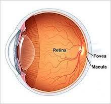 Ilustração mostra a retina e a mácula do olho.