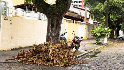 Folhas de uma amendoeira. Imagem: Clodoaldo Ribeiro/SECOM-Ilhéus.
