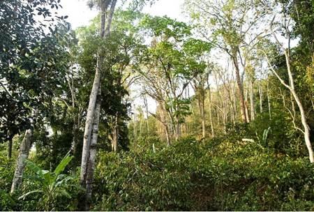 Cabruca é o nome do sistema de plantio do cacau no sul da Bahia. Ele preserva as árvores por causa da sombra de que necessita
