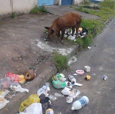 Porco se alimentando de lixo no bairro de Fátima.  Imagem: Gabriela Caldas/Blog do Gusmão.