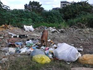 Porco se alimentando de lixo na Avenida Juracy Magalhães em Itabuna. Imagem: Gabriela Caldas