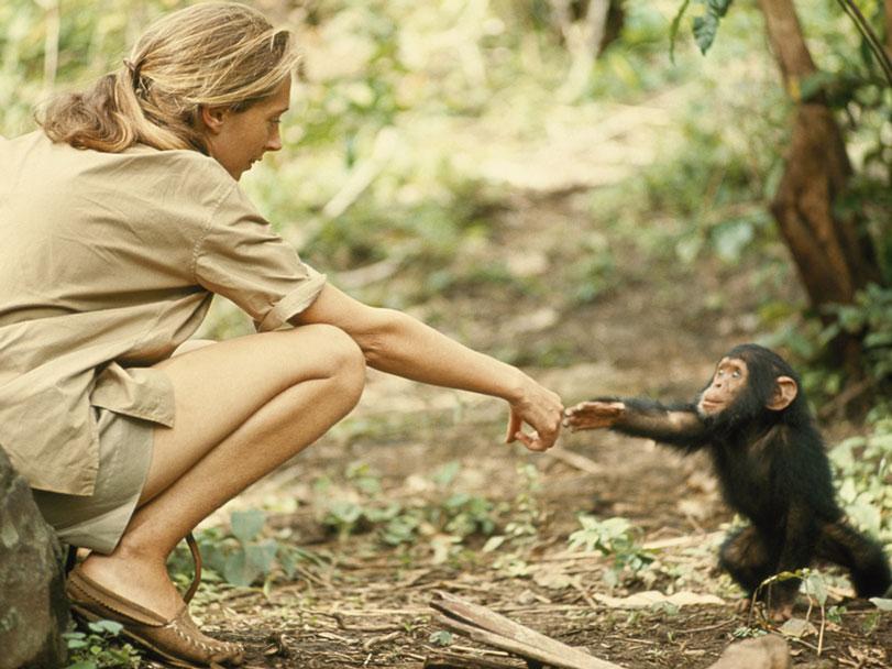 Jane Goodall resumiu a gentileza que os humanos podem desenvolver pela natureza quando se sentem parte dela. Foto: Hugo van Lawick / National Geographic.