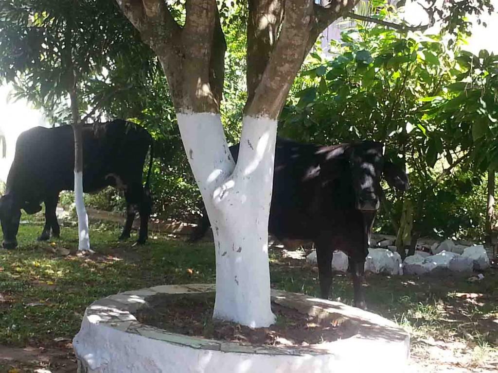 Os moradores do caminho 18, no Bairro Hernani Sá, acordaram com algumas vacas e bezerros em suas portas.
