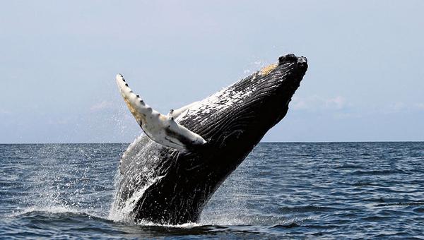 Baleia Jubarte.